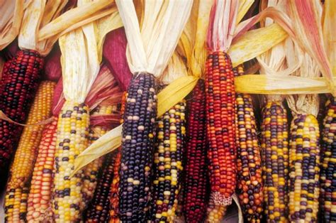 colored corn by tim canwell