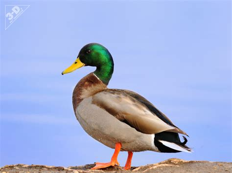 google images ducks mallard duck google search animals pinterest