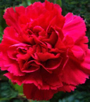 ohio oh state flower list of 50 state floweres of the 107 best images about william mckinley on