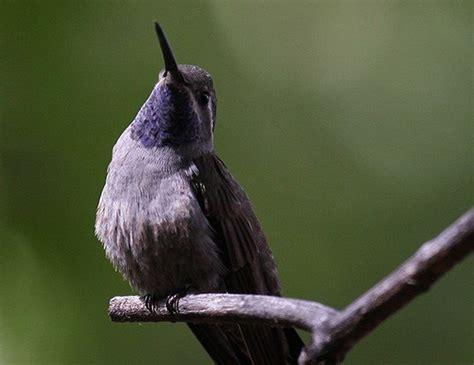 blue throated hummingbird life expectancy