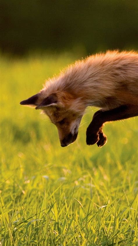 wallpaper red fox green grass jumping sunny day wild