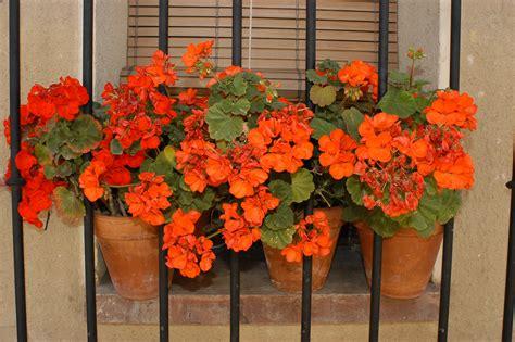 fiori da casa piante antizanzare per il balcone di casa
