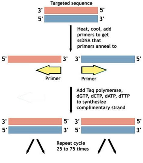 how much template dna for pcr pcr polymerase chain reaction asu ask a biologist