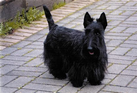 scottish terrier puppies scottish terriers for adoption breeds picture