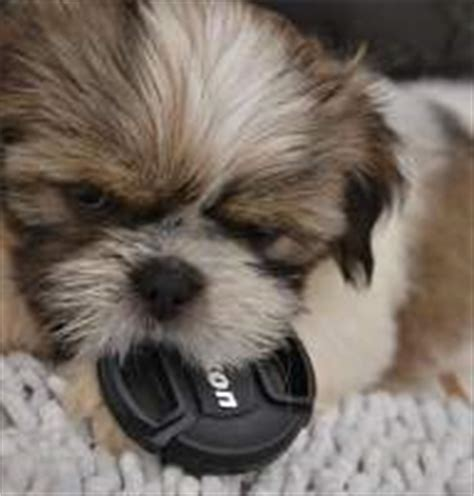 shih tzu allergy symptoms complete shih tzu information center