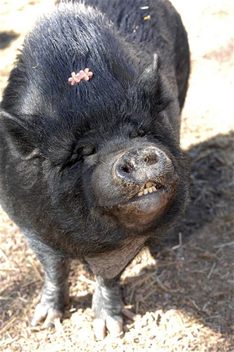 teacup pigs   rage  animal welfare group urges