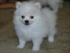 white pomeranian puppies for sale cheap pomeranian puppies for sale in cheap zoe fans baby animals