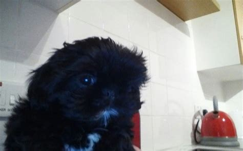 shih tzu hull shih tzu hull east of pets4homes