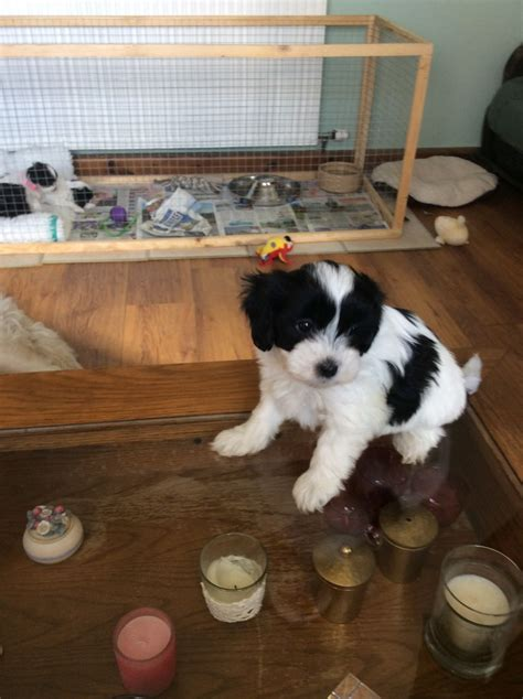 shih tzu cross poodle puppies for sale miniature poodle cross shih tzu puppy for sale boston lincolnshire pets4homes