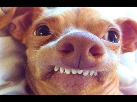 can dogs laugh dogs can make you laugh out loud try not to laugh