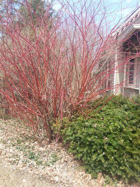 pruning red dogwood shrub ask an expert