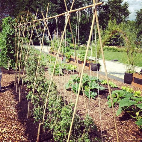 Growing Tomatoes On Trellis 5 variations on a string trellis for tomatoes bonnie plants