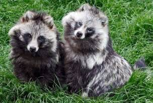 raccoon dogs fluffy cuties with identity issues