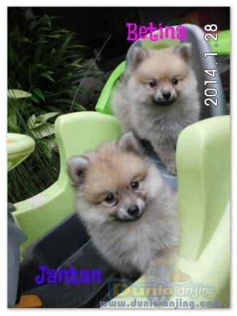 Combantrin Obat Cacing Informasi dunia anjing jual anjing pomeranian 2 ekor anak