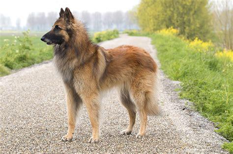 belgian shepherd long haired dog information the belgian tervuren dog information blog