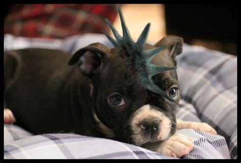 rock pug rock pug by lomeinis on deviantart