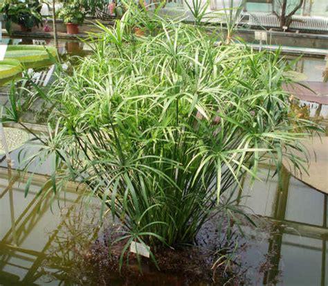 piante acquatiche in vaso fiori piante e giardini mondo maggio 2012