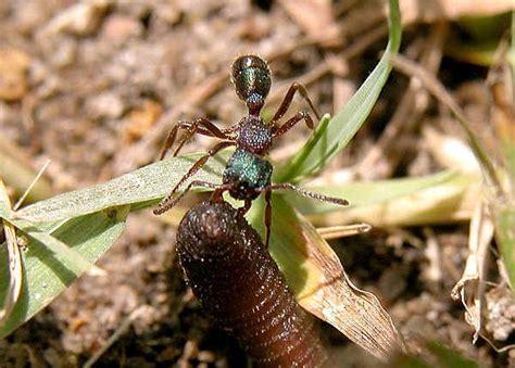 green headed ant rhytidoponera metallica