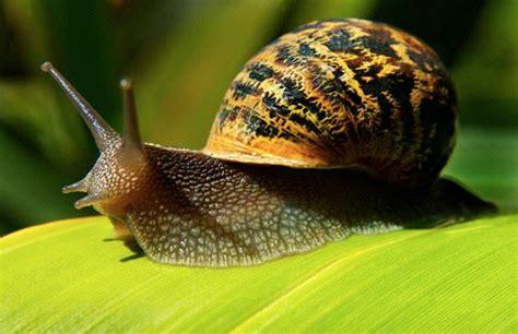 alimentazione lumache di terra cosa mangiano le lumache di terra lettera43 it