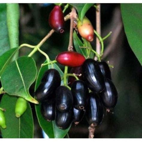Bibit Buah Juwet Jamblang Hitam jual bibit unggul tanaman juwet jamblang hitam bibit