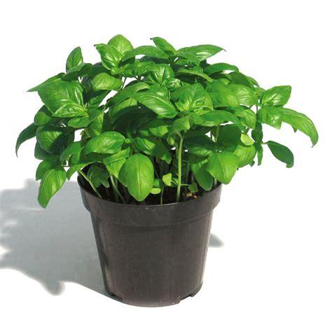 come mantenere il basilico in vaso coltivazione e caratteristiche basilico