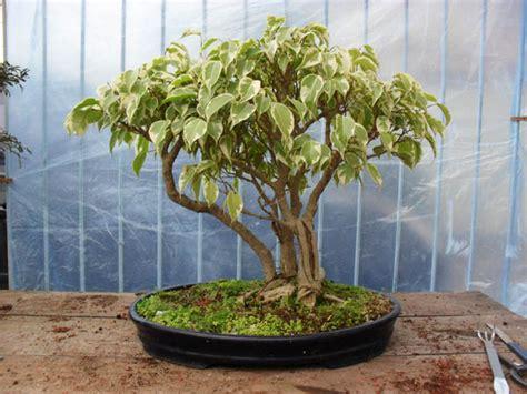 Benih Biji Buah Bonsai Melon 8 cara menanam bonsai untuk pemula panduan lengkap