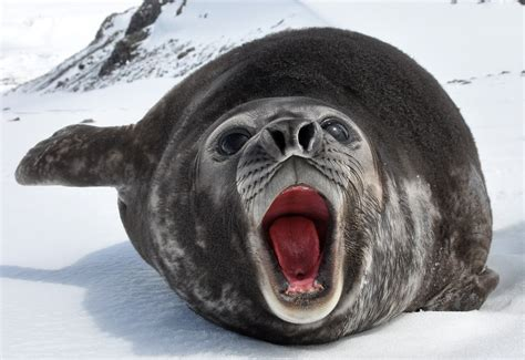 Show Me A Picture Of An Elephant Seal