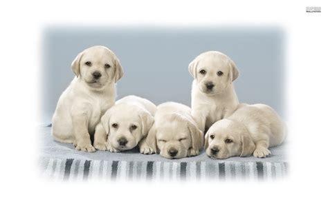 hd cute puppy wallpaper free download jpg desktop background desktop cute pug puppies pictures download