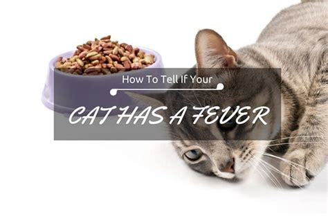 how to tell if has fever how to tell if a cat has a fever and is terribly sick tinpaw