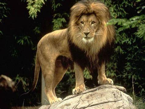 imágenes de leones juntos el leon