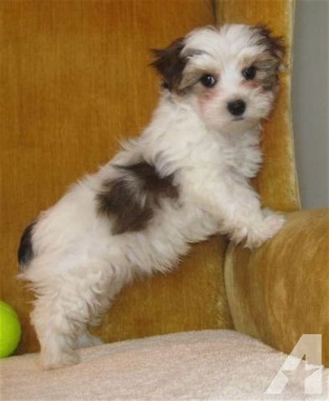 white and brown yorkie yorkie akc parti colored white brown and gold for sale in marion