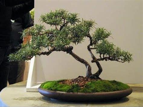 benefits  growing bonsai herbs rosemary youtube