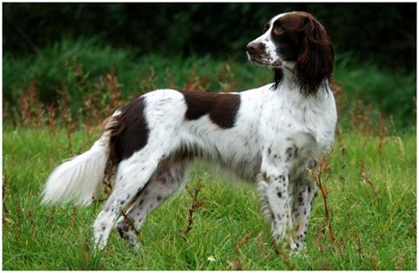 french setter dog breed french spaniel breeders facts pictures puppies