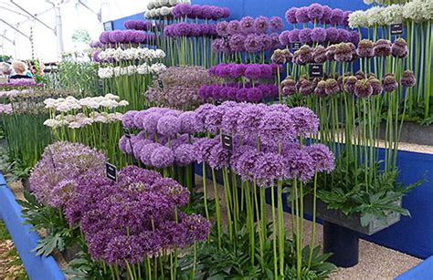 Zierlauch Schneiden by How To Grow Alliums Allium Flowering Onions Gardener S