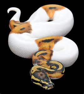 constrictors unlimited python regius piebald ball python
