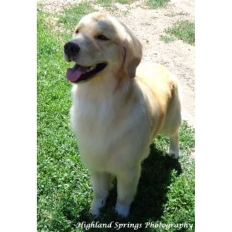 golden retriever puppies wyoming highland springs breeders golden retriever breeder in rock springs wyoming listing
