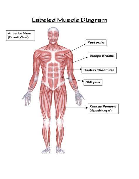 muscular system diagram human arm simple 25 best ideas about arm