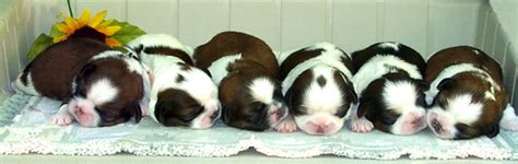 croaking toad shih tzu past shih tzu puppies for sale by midwest chicago area indiana breeder
