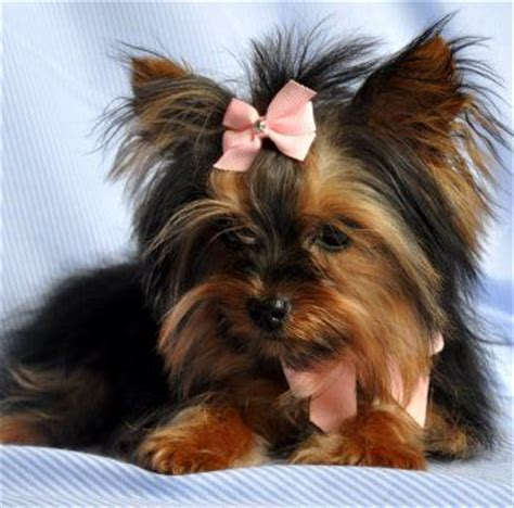 how much for teacup yorkie 17 best images about yorkie haircuts on best style yorkie and yorkie