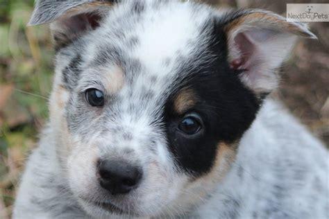 blue heeler puppy names image australian cattle blue heeler names