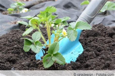 Erdbeeren Wann Pflanzen 4733 by Wann Und In Welche Erde Pflanzt Erdbeerpflanzen