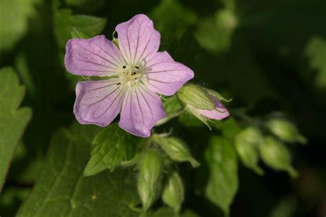 geranium maculatum a common plant in relatively mature woods