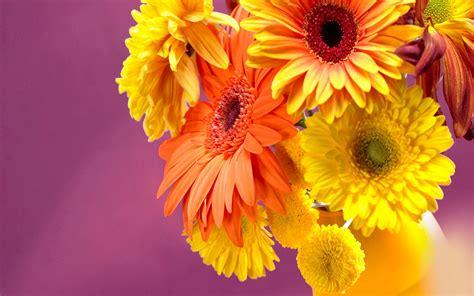 gerbera daisies  wallpaperscom