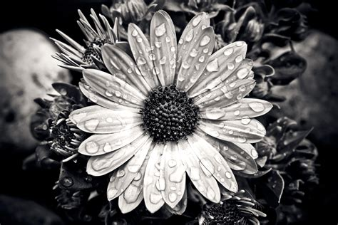grayscale  daisy flower  stock photo