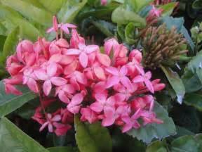 flowering tropical shrubs tropical plants webner house