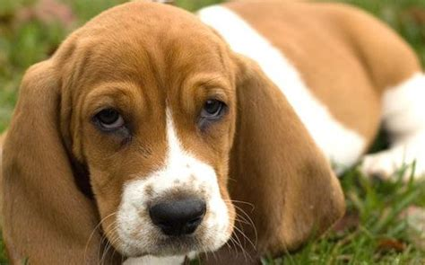 beagle basset puppies hound puppy dogs pictures photos pics images gallery breed breeds picture