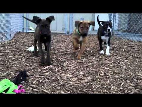 wisconsin humane society available dogs plott hound buddy beauchaine sings doovi