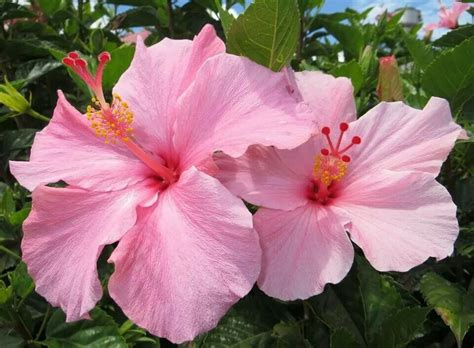 which state has a hibiscus which state has a hibiscus 28 images hawaii state
