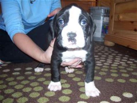 boxer puppies dallas boxer puppies in