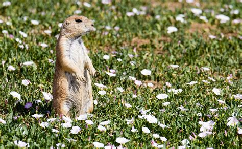 prairie plague pneumonic plague in colorado prairie dogs fleas 183 guardian liberty voice